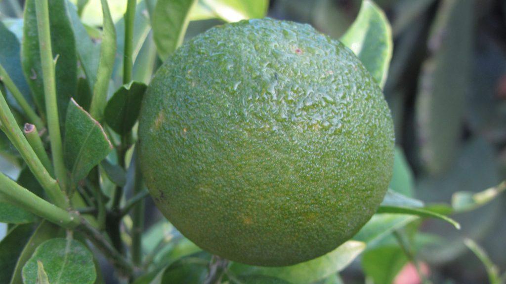 Limone in Apulien
