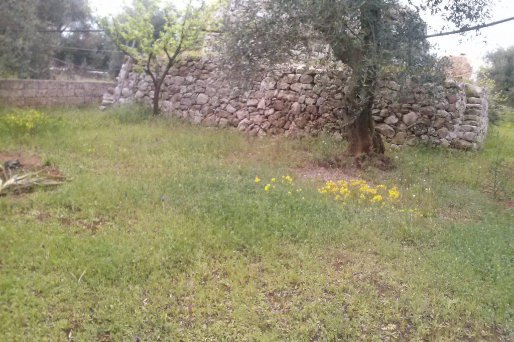 Olivenhain mit Pajara