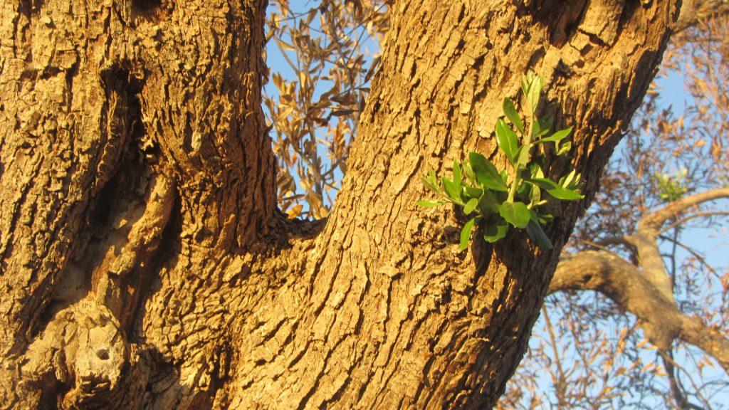 Olivenbaum bei Ugento