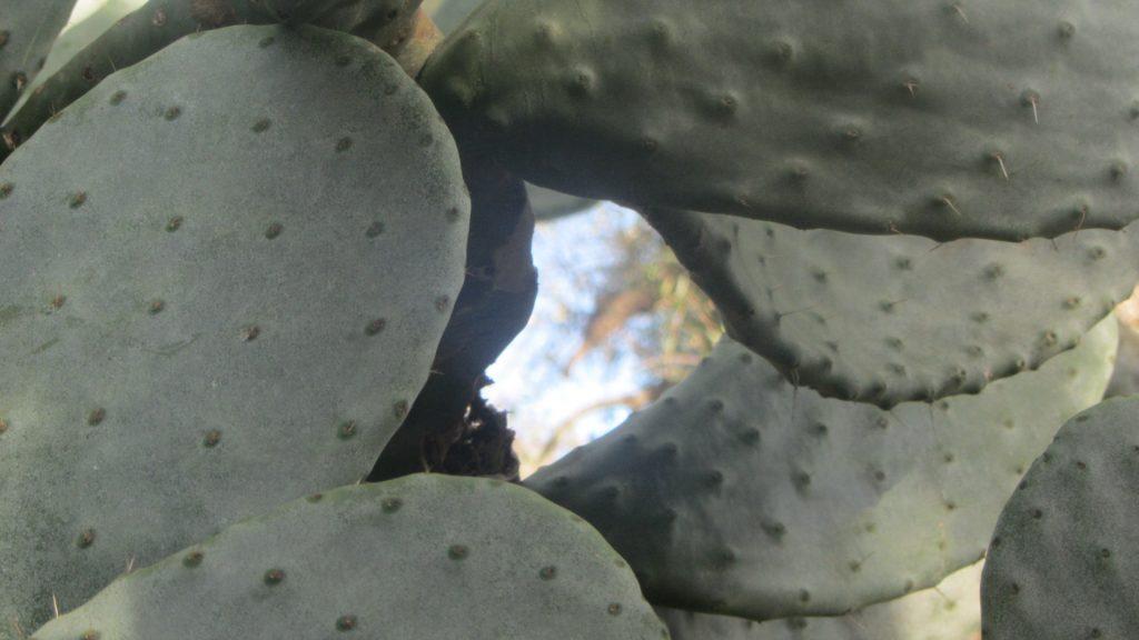 Kaktusfeigen in Apulien