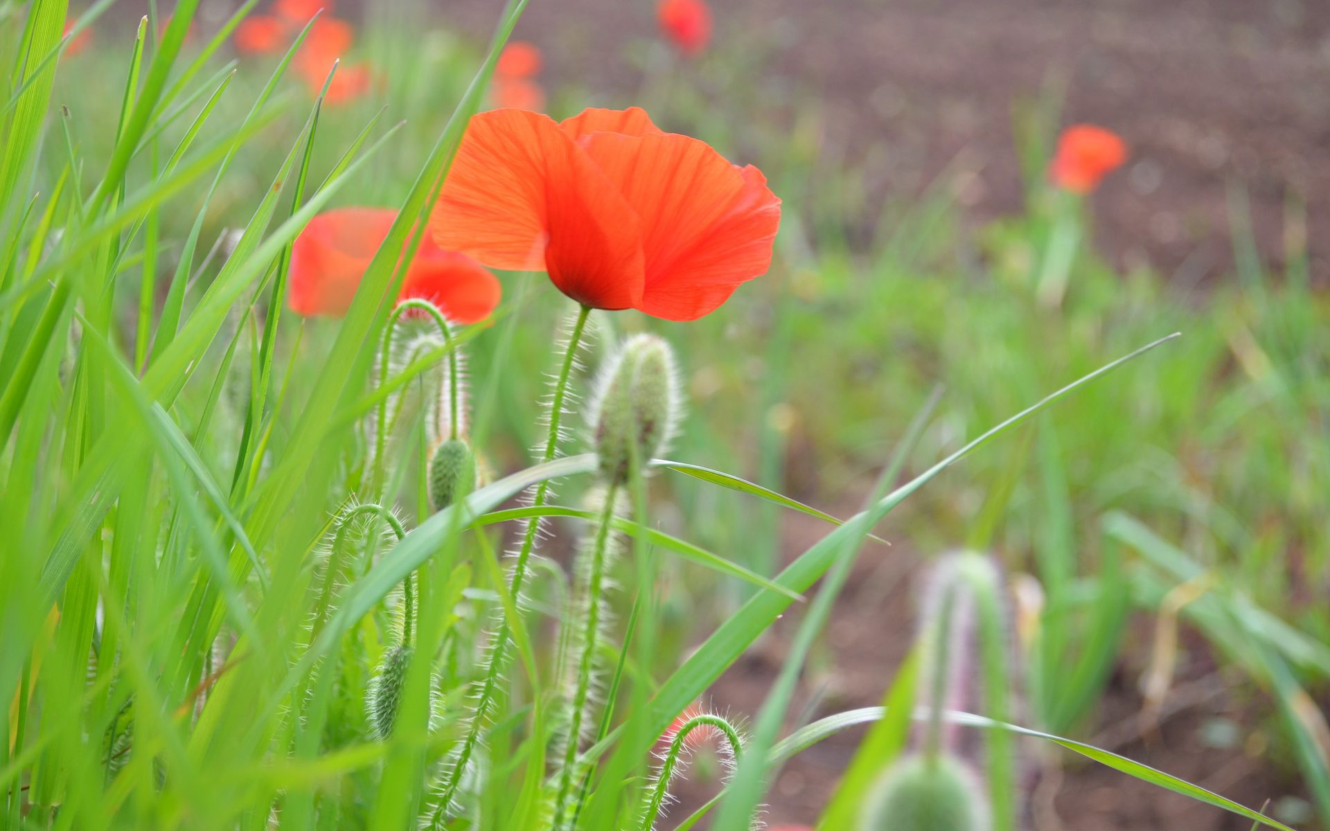 Mohn im Salento in Apulien