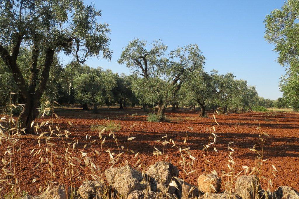 Olivenhain im Salento